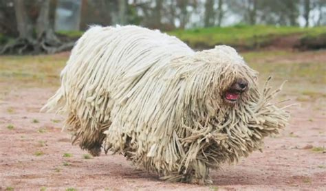 mop breed big breeds 4 things i like mop komondor and breeds