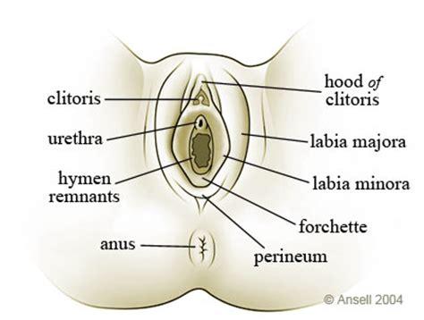 diagram of clitorus the sexinfo