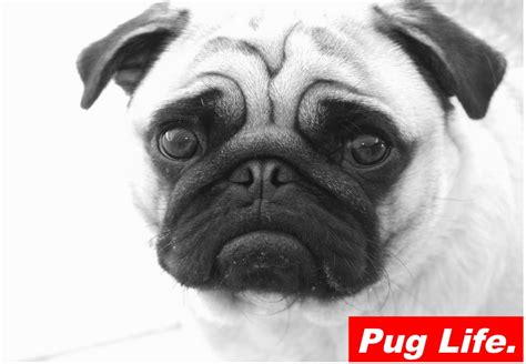pug iron on transfer pug 2 iron on t shirt transfer dope vintage high supreme prints ebay