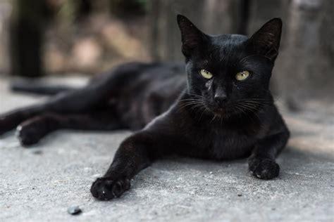 Black Cat black cat names cattime