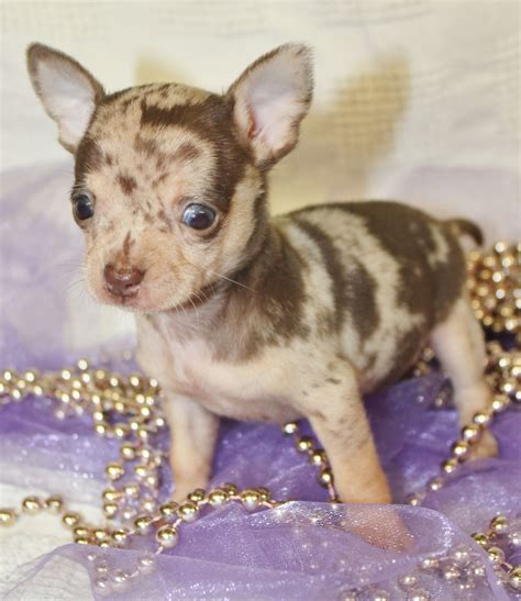 merle chihuahua puppies gorgeous merle chihuahua puppies orpington kent pets4homes
