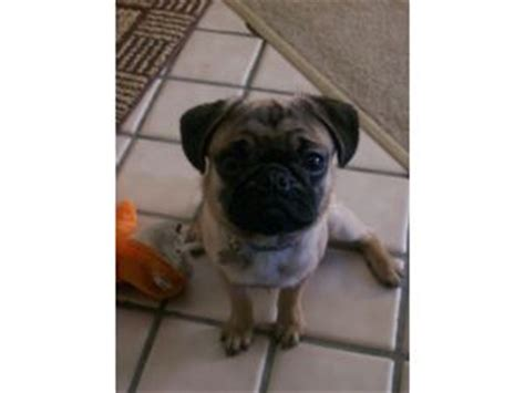 pugs for sale oregon brindle pugs for sale in oregon to brindle pugs for sale in breeds picture