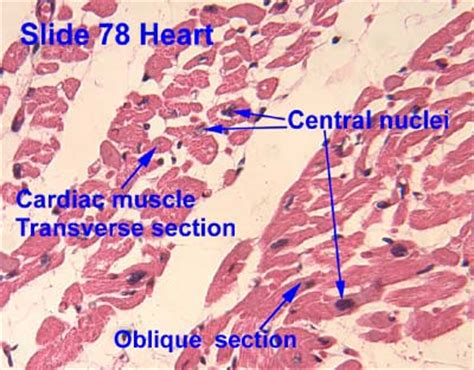 histological section tissues