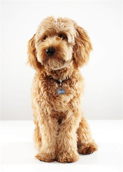 yankee doodle puppy 1000 images about goldendoodles on pets