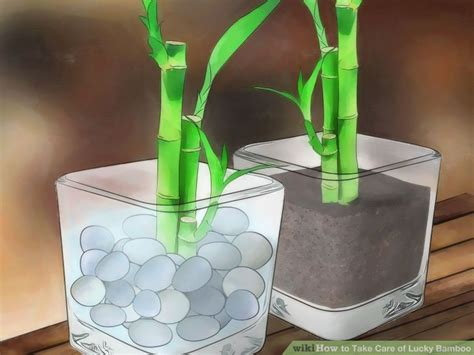 how to take care of lucky bamboo 12 steps with pictures