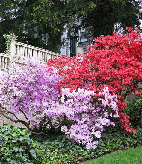 azalea colors azalea colors crafty projects and a garden niche the t