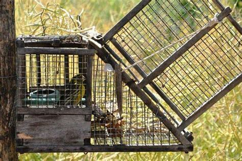 gabbia trappola uccelli piazza trappole per uccelli in orto una denuncia nel
