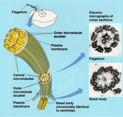 diagram of flagella the evolution of the flagellum