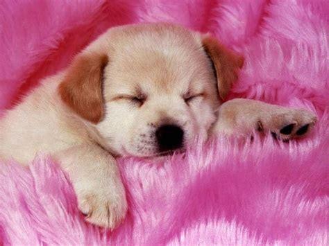 wallpaper pink dog sleeping day puppy cute pink dog wallpaper free hd