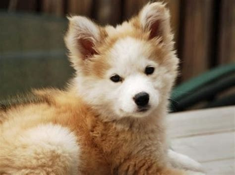siberian husky golden retriever siberian husky golden retriever animals animals animals pinte