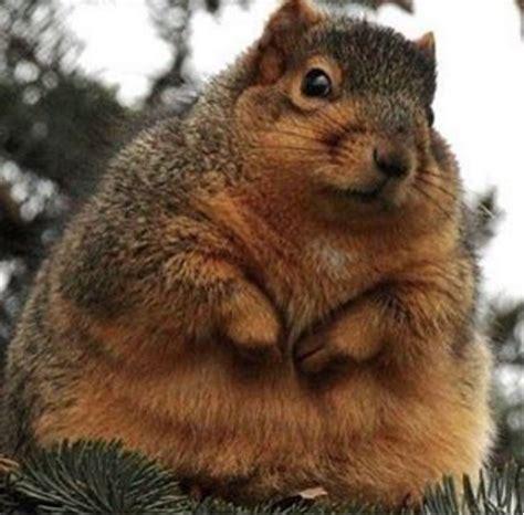scoiattolo volante domestico perch 233 gli scoiattoli stanno ingrassando gqitalia it