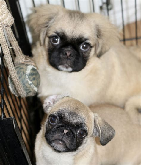 fluffy pug adorable fluffy pug ready to leave brighton east sussex pets4homes