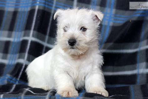 west highland terrier puppies for sale near me west highland white terrier westie puppy for sale near lancaster pennsylvania