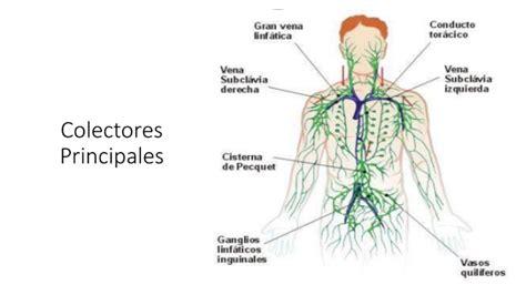 grupos ganglionares toracicos ganglios linfaticos