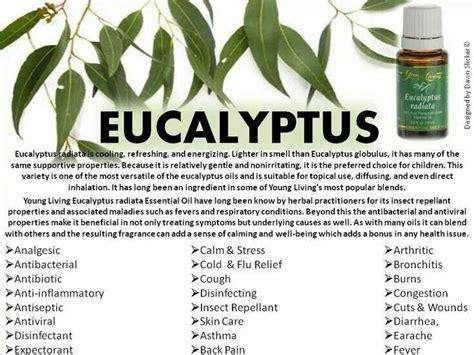 Living Eucalyptus Radiata 1000 images about eucalyptus living on