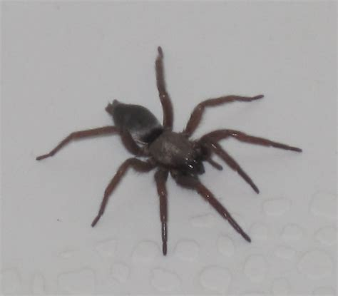 information about quot brownspider2 jpg quot on spiders davis