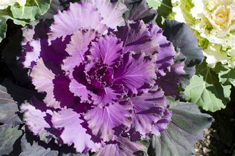 head of fresh purple cabbage free stock image
