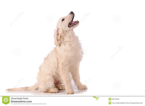 purebred golden retriever puppy purebred golden retriever royalty free stock photo image 38732245