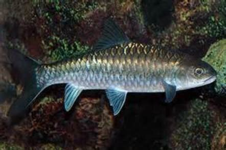 peluang usaha budidaya ikan indonesia peluang usaha budidaya ikan empurau dan analisa usahanya