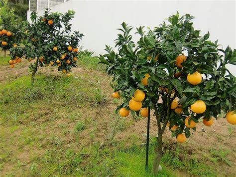 fior d arancio pianta arancio citrus sinensis frutteto arancio frutteto