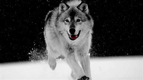 wolf and black and white wolf wallpaper wallpapersafari