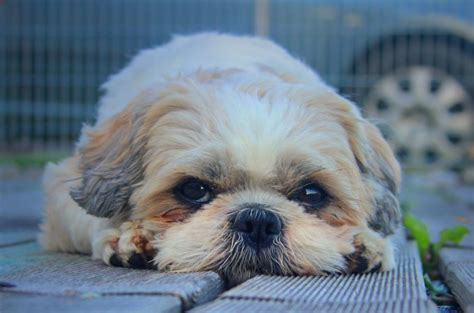 shih tzu cross breed 7 surprising shih tzu puppies mix that best gift for your ones