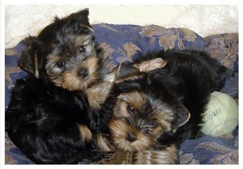 akc yorkie puppies for sale in corona california akc teacup yorkie puppies for free adoption for sale