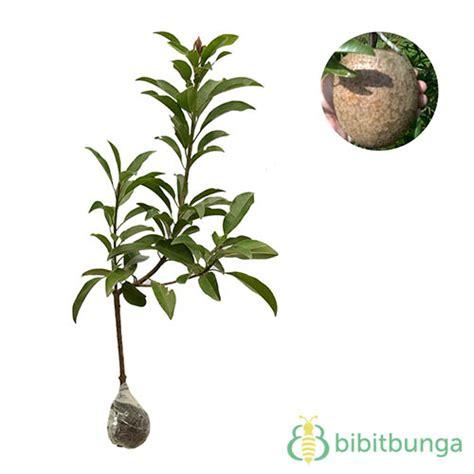 Tanaman Mame Sapote Sawo Jumbo tanaman sawo jumbo bibitbunga