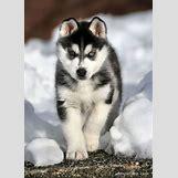 Cute Husky In Snow | 400 x 559 jpeg 56kB