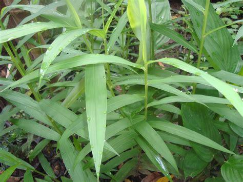 Tanaman Bangle Pot Pohon Bangle Dan Pot budidaya dan manfaat tanaman bangle sistemhidroponik