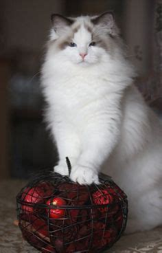 ragdoll pose with tips ragdoll cat kittens for sale picture in ragdoll cat cats