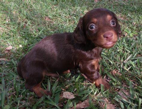 haired dachshund puppies miniature dachshund puppy foto 2017