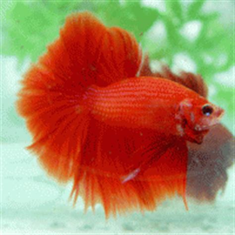 Pakan Ikan Cupang Alternatif cupang hias kecil bentuknya gede untungnya pengusaha