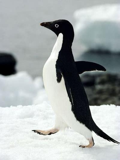 foto pinguin lucu  menggemaskan gambarbinatangcom