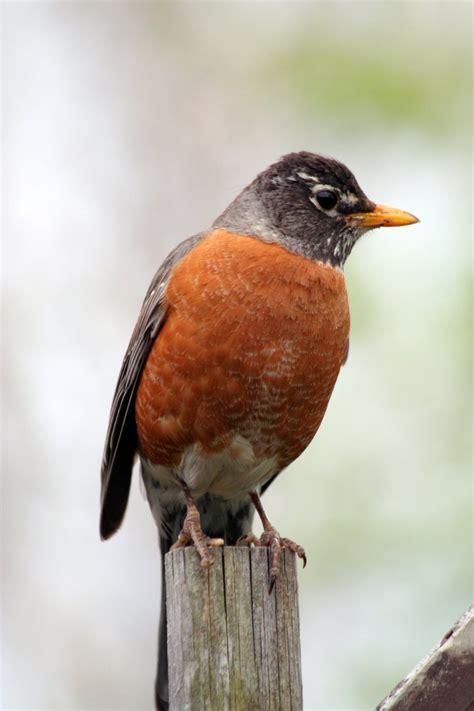 free robin stock photo freeimages com