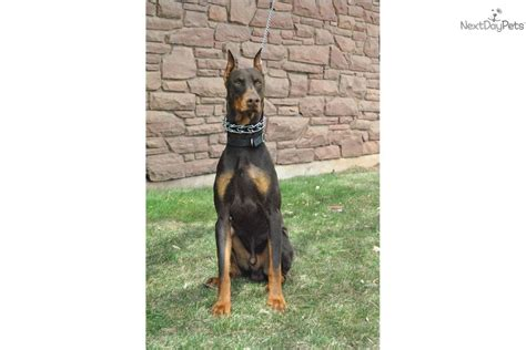 doberman puppies colorado doberman pinscher for sale for 1 000 near western slope colorado 082ae16c 6c31
