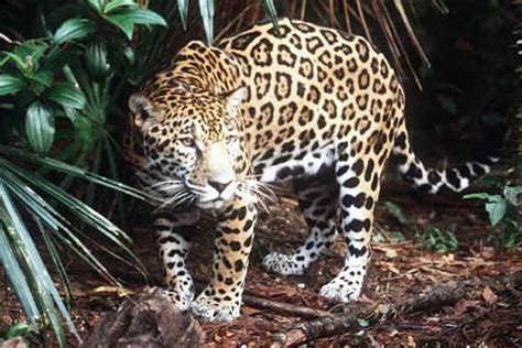 Endangered Jaguar Critical Habitat For Endangered Jaguar To Be Protected