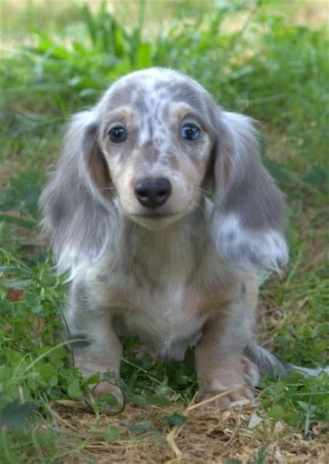 blue dachshund puppies 25 best ideas about blue dapple dachshund on haired miniature