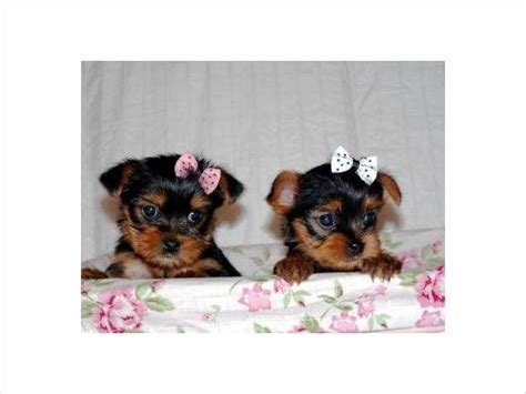 yorkie puppies for sale in alabama beautiful yorkie puppies for sale adoption from montgomery alabama adpost