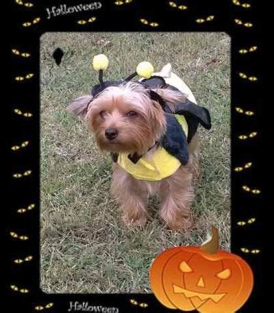 do yorkies howl 1000 images about yorkies in costumes on pets puppys and yorkies