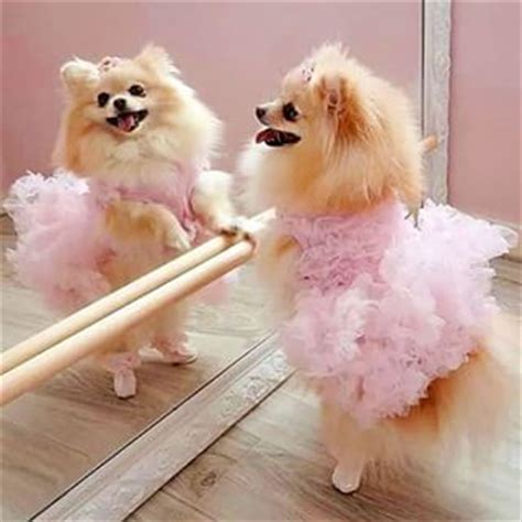 pomeranian tutu tutu for pomeranian search pomeranians ballet puppys and pansies