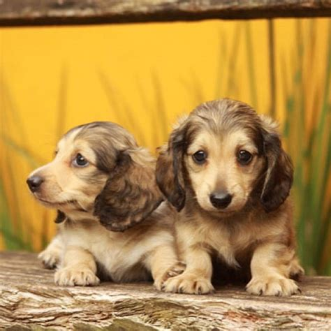 golden dox puppies for sale best 25 golden dachshund ideas on dachshund mix dachshund breed and
