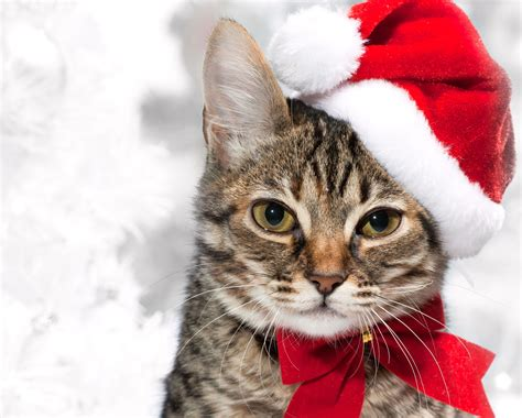 wallpaper cat christmas christmas cat wallpapers and images wallpapers pictures