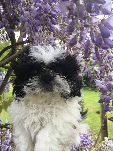 shih tzu puppies for sale in jacksonville fl shih tzu puppies for sale jacksonville fl 196175