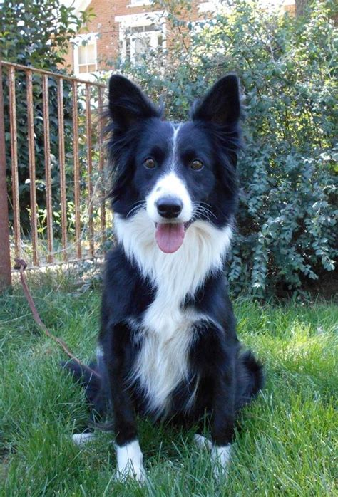 border collie puppies california 1000 ideas about collie rescue on border collie rescue border collies