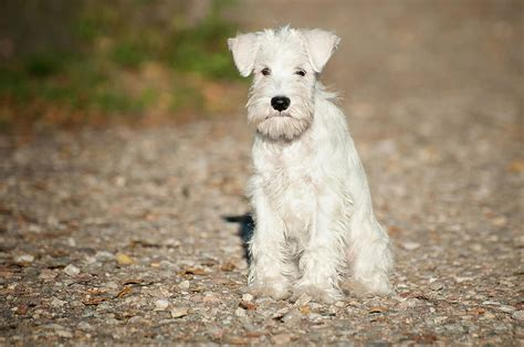 white schnauzer puppy white miniature schnauzer puppy photograph by marta holka