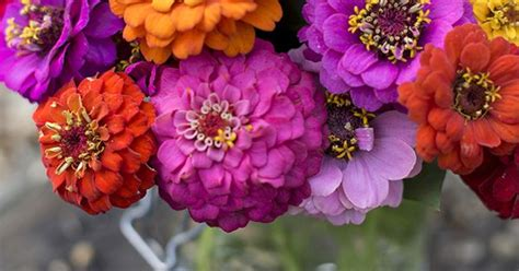 Johnsons Seeds Zinnia Sprite Mixed zinnia sprite mix find out how to grow your own cut flowers at http www gardenersworld