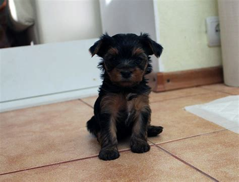 are yorkies easy to potty potty your yorkie