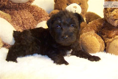 schnoodle puppies for sale near me schnoodle puppy for sale near st louis missouri 34f56e6d d591