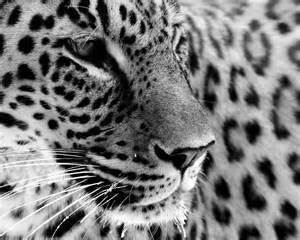 Pictures Of White Jaguars White Jaguar And A Tania S